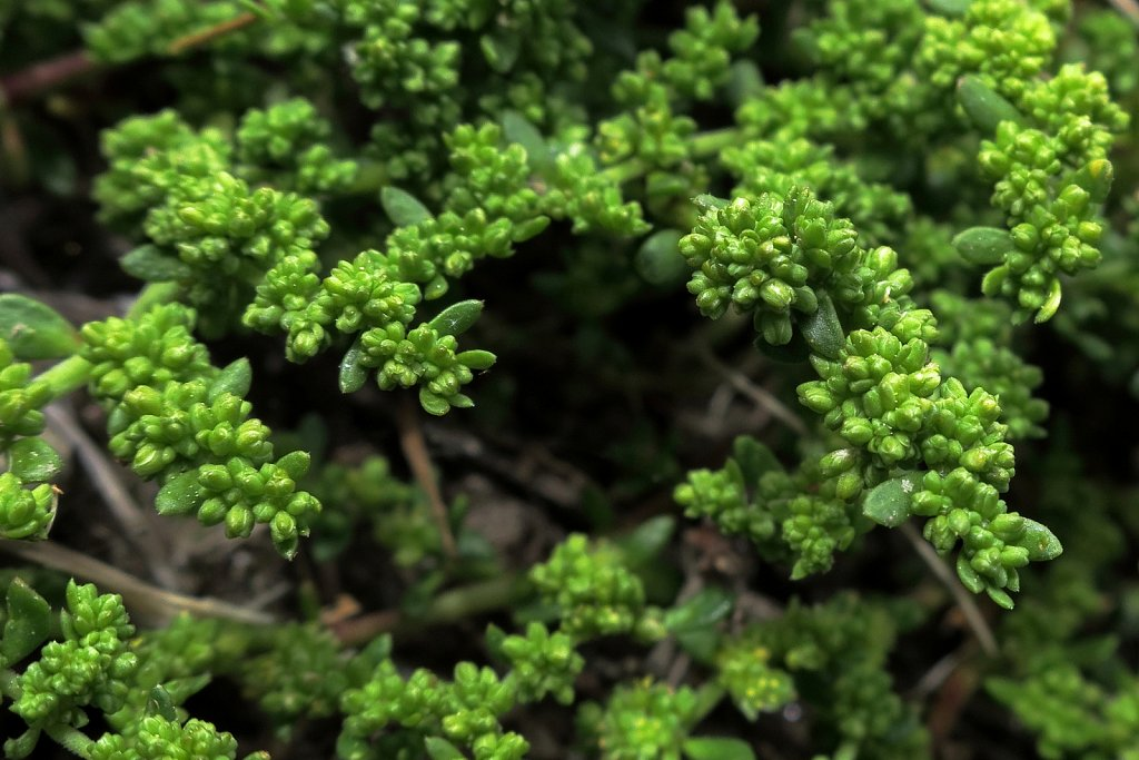 Herniaria glabra (Smooth Rupturewort)