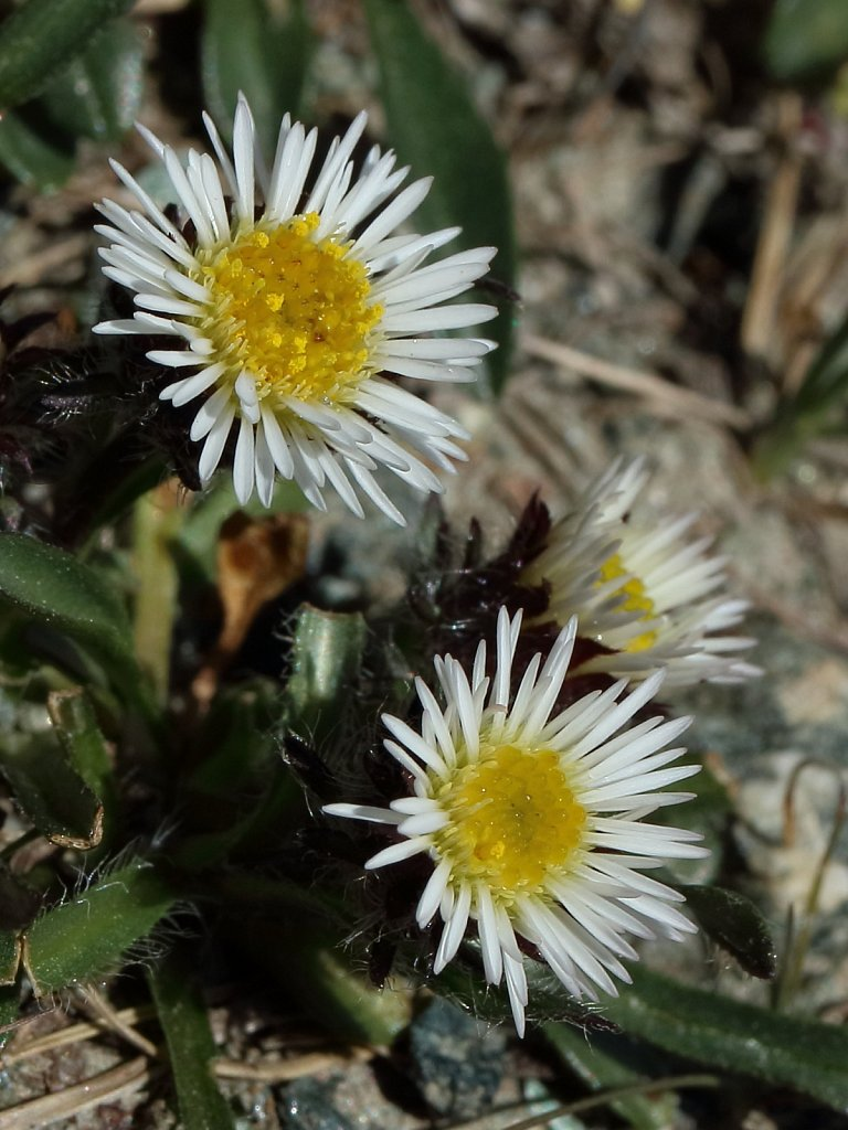 Erigeron uniflorus (One-flowered Fleabane)