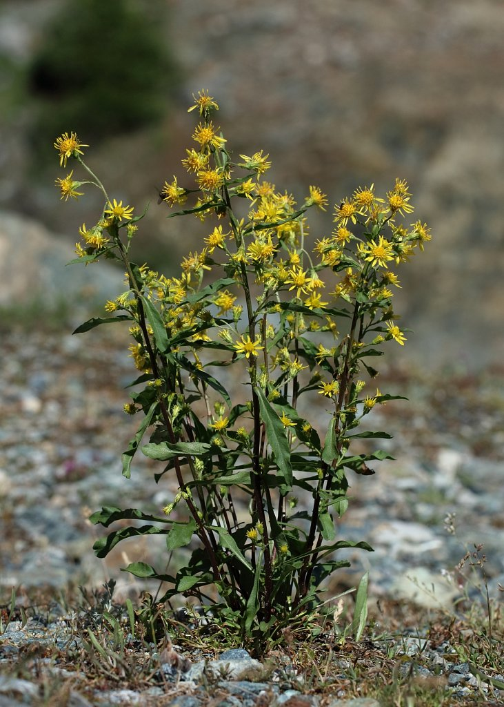 Solidago virgaurea ssp minuta (Alpine Goldenrod)