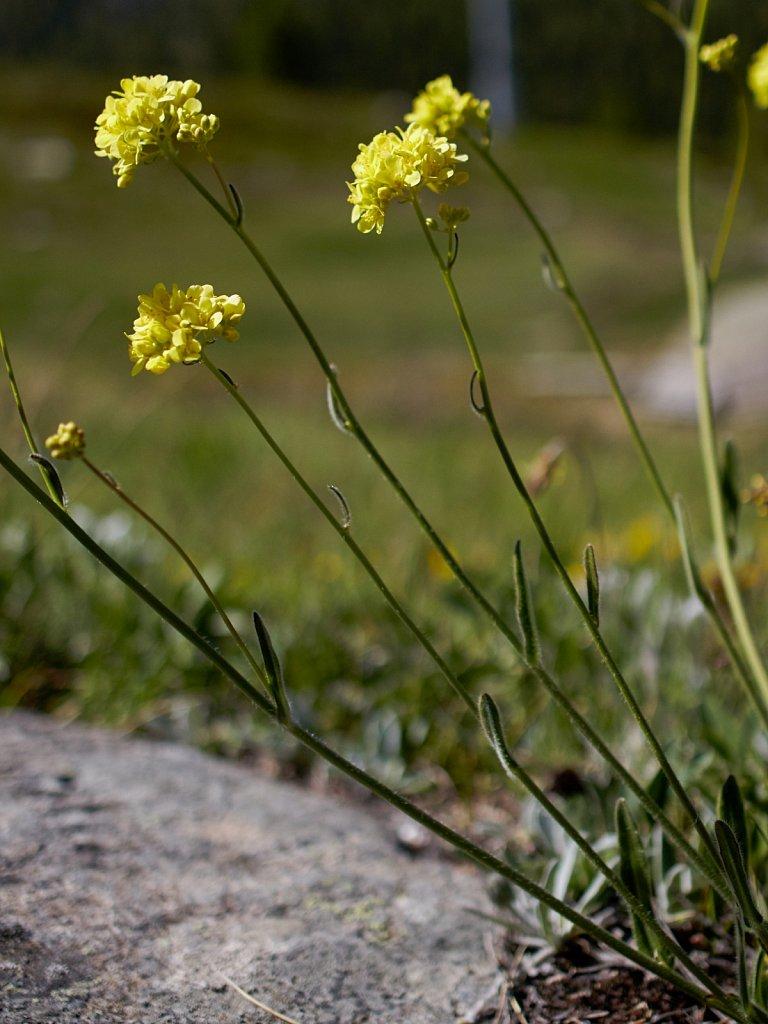 Biscutella laevigata (Buckler Mustard)