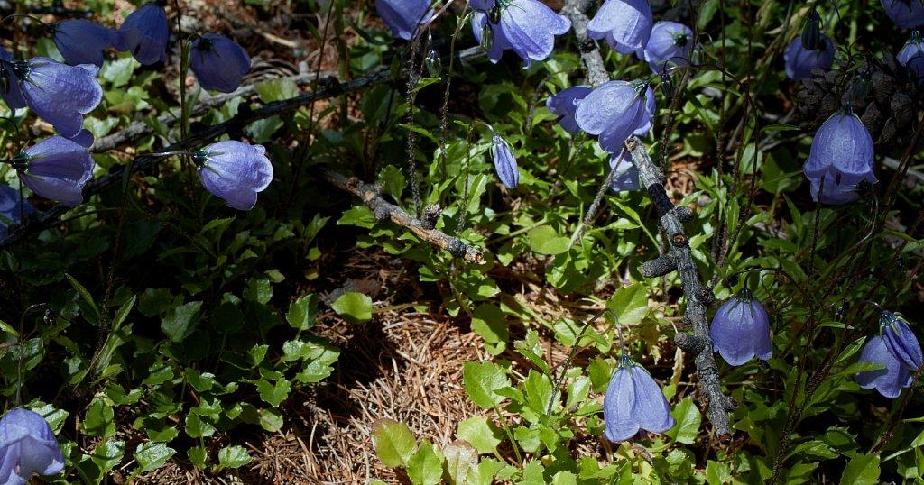 Campanula cochleariifolia (Small Belflower)