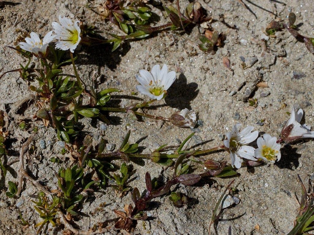 Cerastium cerastoides (Starwort Mouse-ear)