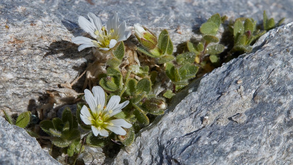 Cerastium latifolium (Broad-leaved Mouse-ear)