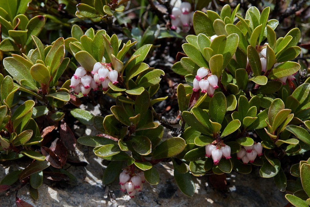 Arctostaphylos uva-ursi (Common Bearberry)