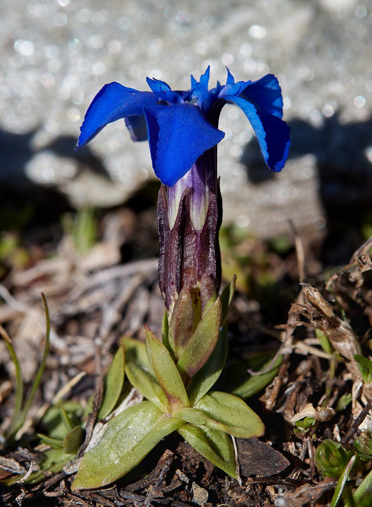 Gentiana orbicularis (Orbicular-leaved Gentian)