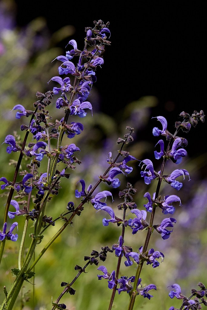 Salvia pratensis (Meadow Clary)
