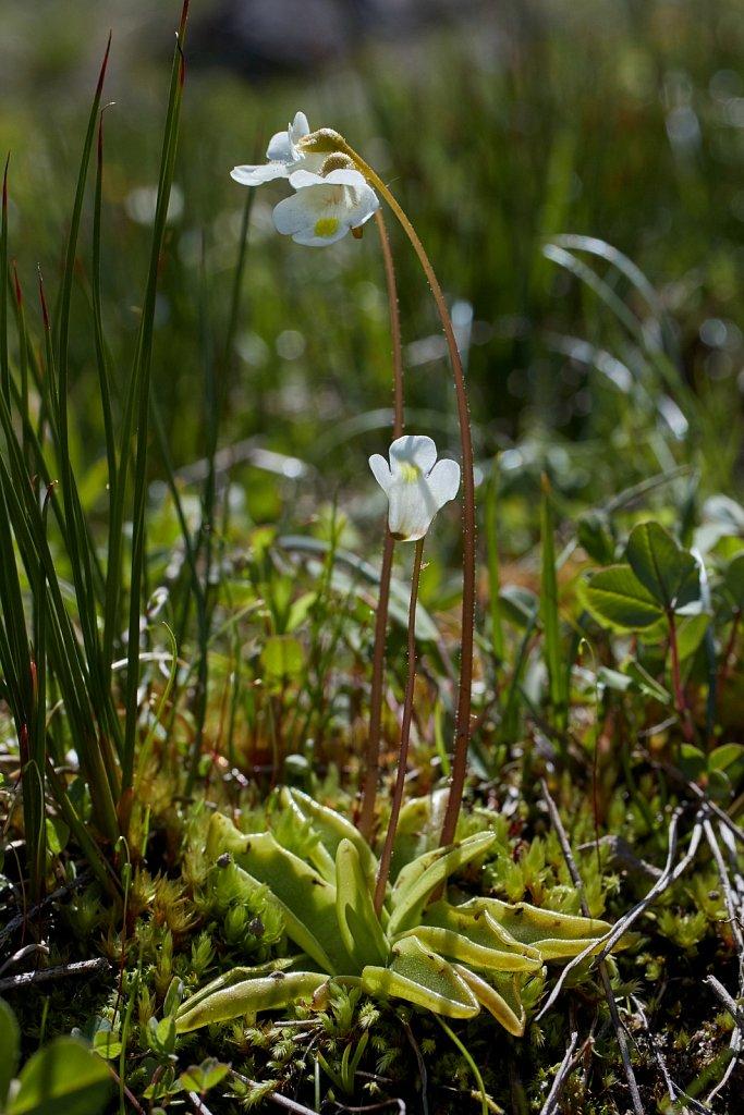 Pinguicula alpina (Alpine Butterwort)