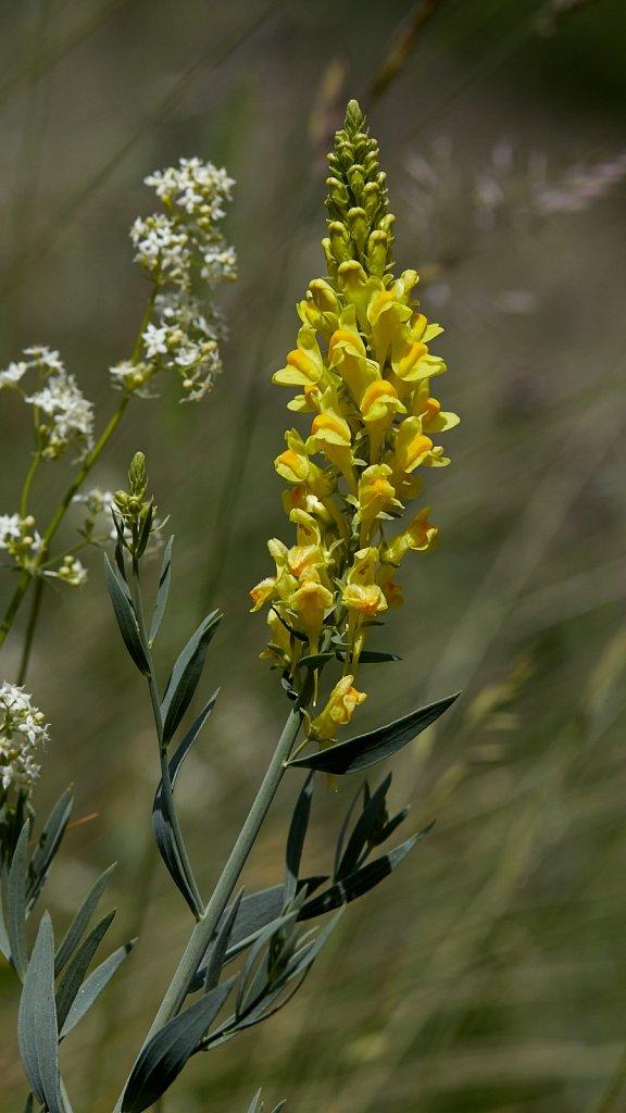 Linaria angustissima (Italian Toadflax)