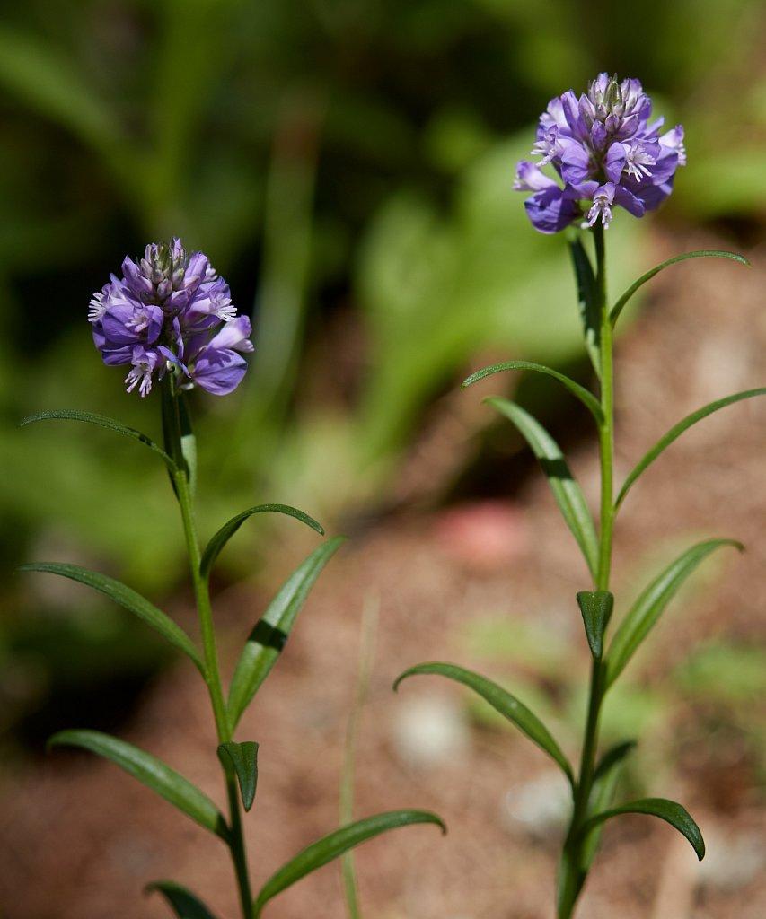 Polygala comosa (Tufted Milkwort)