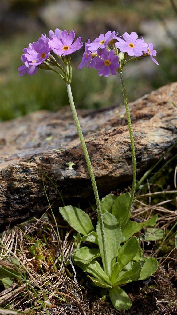 Primula farinosa (Bird's-eye Primrose)