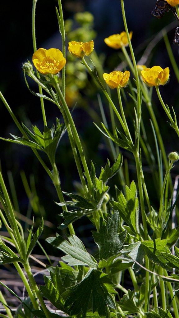Ranunculus villarsii (Villar's Buttercup)