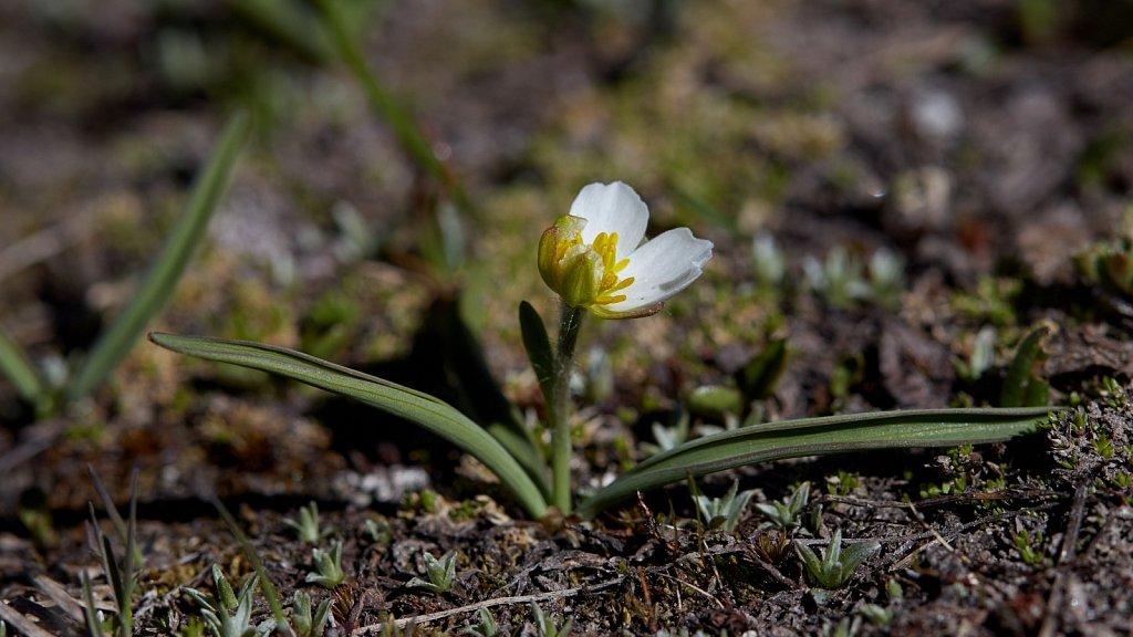 Ranunculus kuepferi (Kuepfer's Crowfoot)
