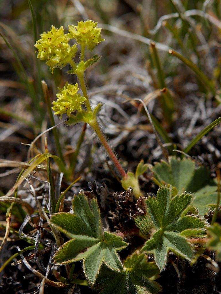Alchemilla hybrida (Hybrid Lady's-mantle)