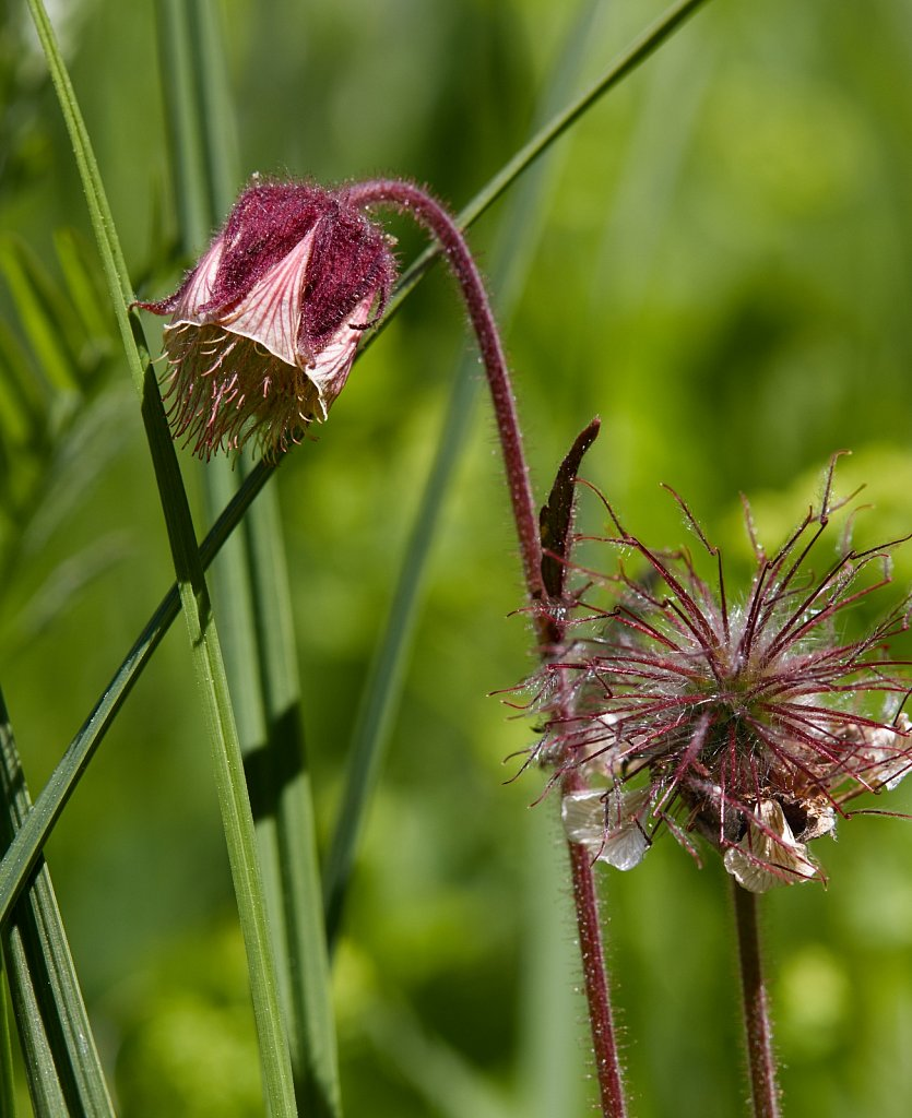Geum rivale (Water Avens)