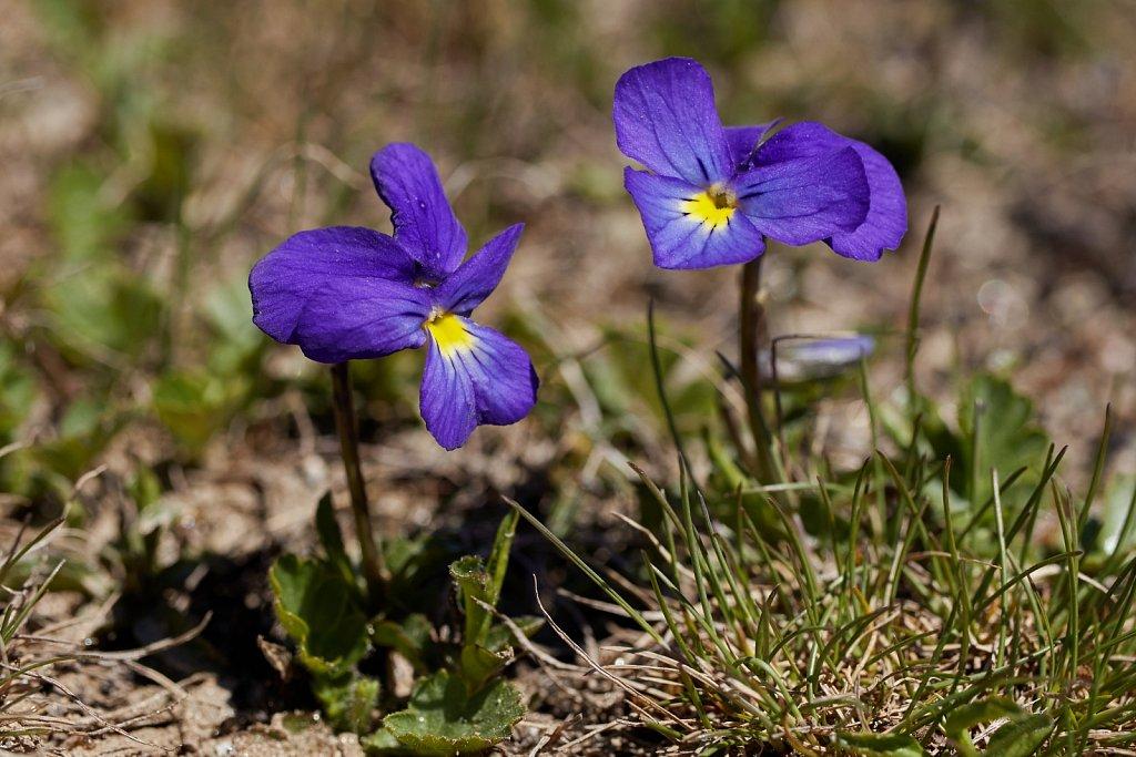 Viola calcarata (Alpine Pansy)