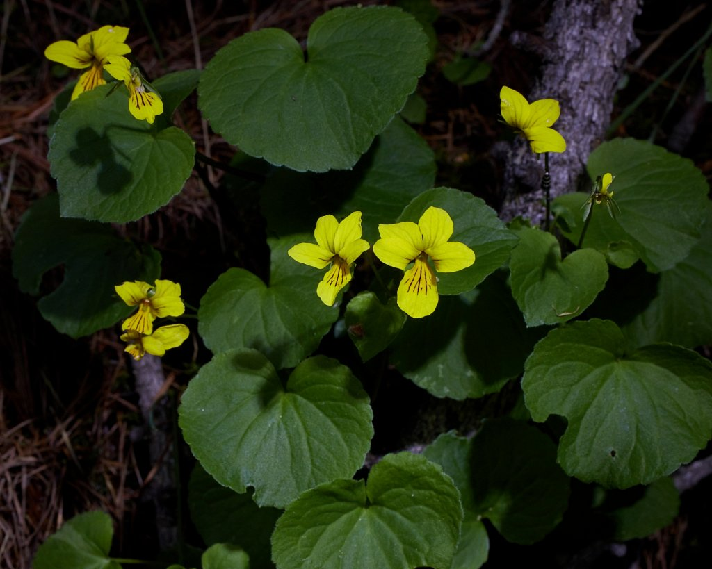 Viola biflora (Two-flowered Violet)
