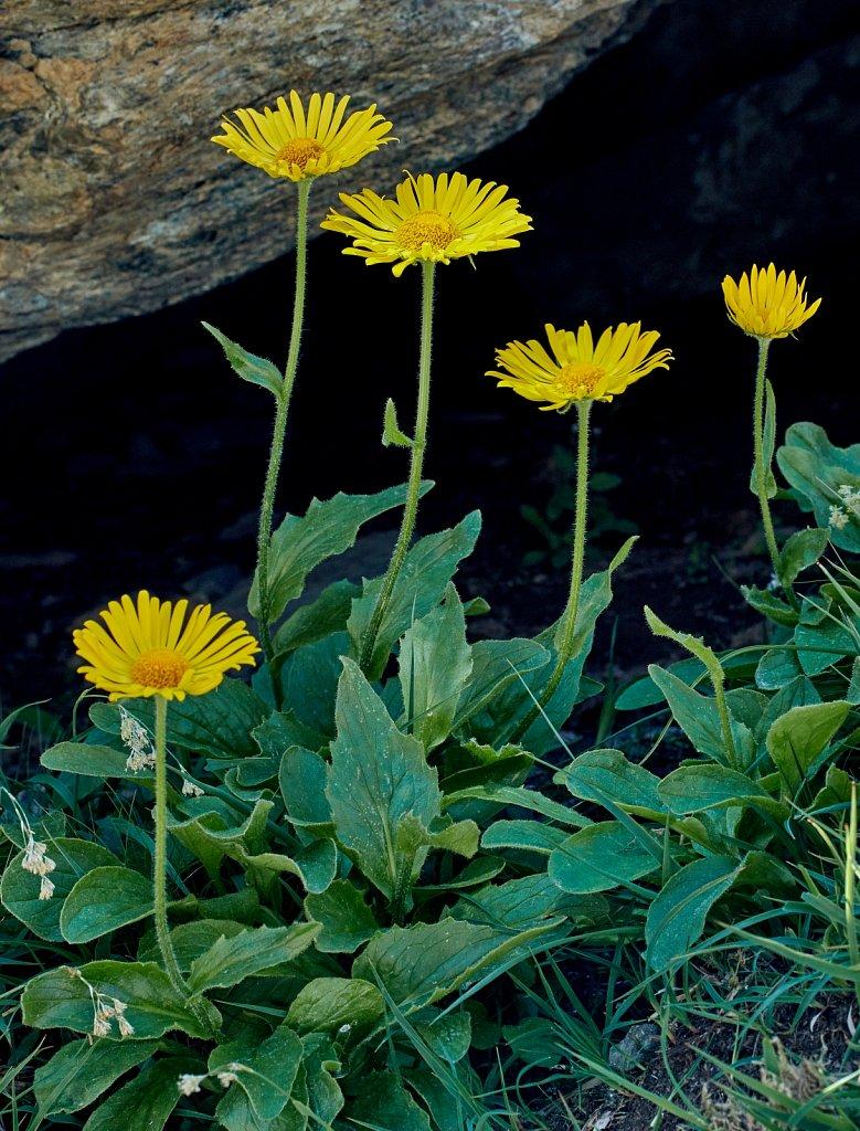Doronicum clusii (Clusius' Leopard's-bane)