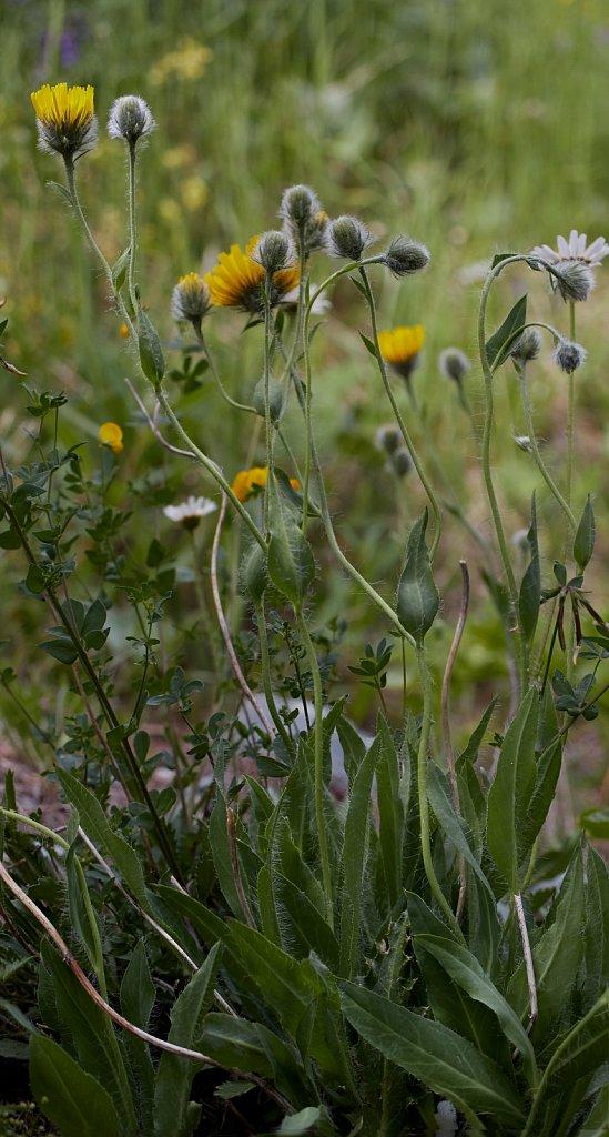 Hieracium pilosum (Hairy Hawkweed)