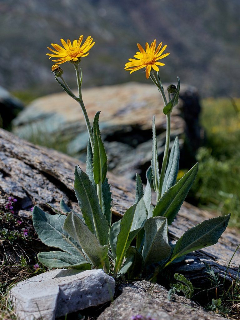 Senecio doronicum (Leopard's-bane Groundsel)
