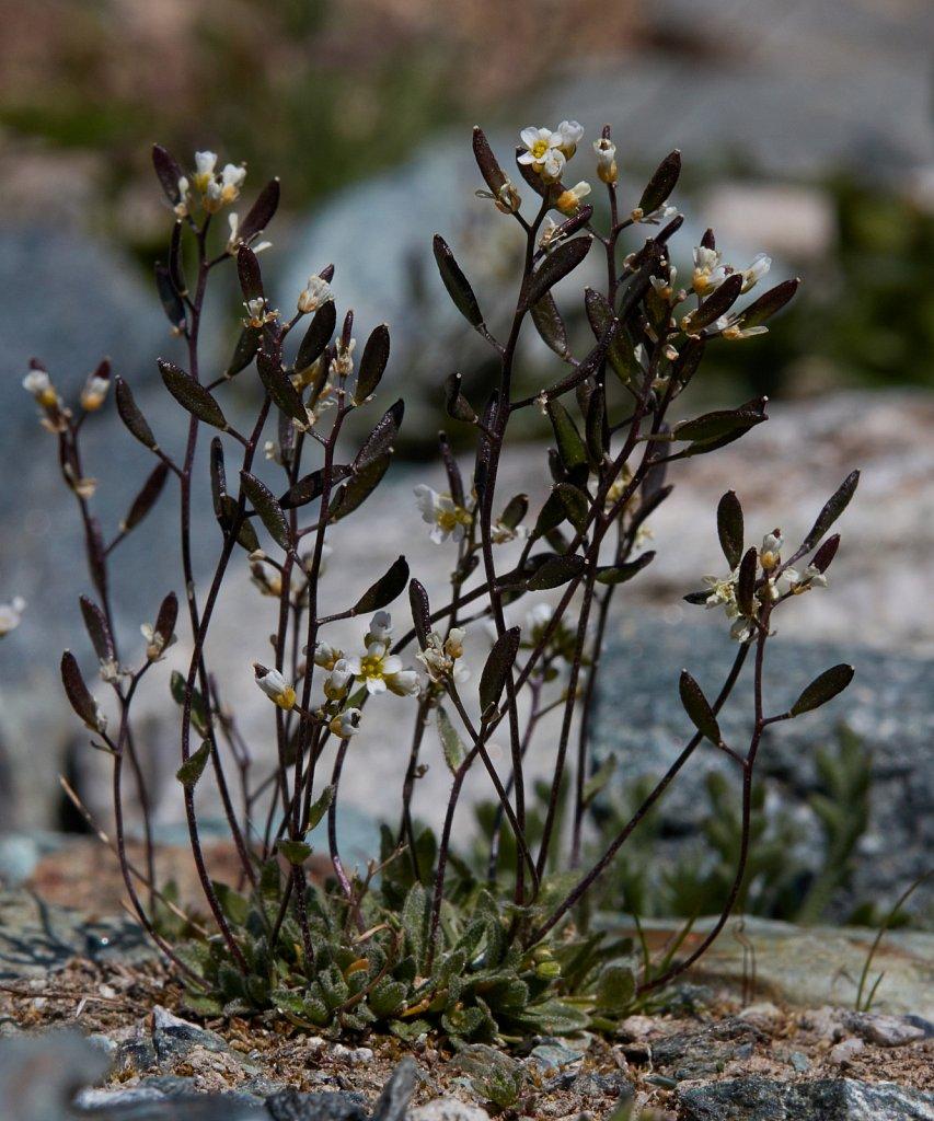 Draba siliquosa (Carinthian Whitlowgrass)