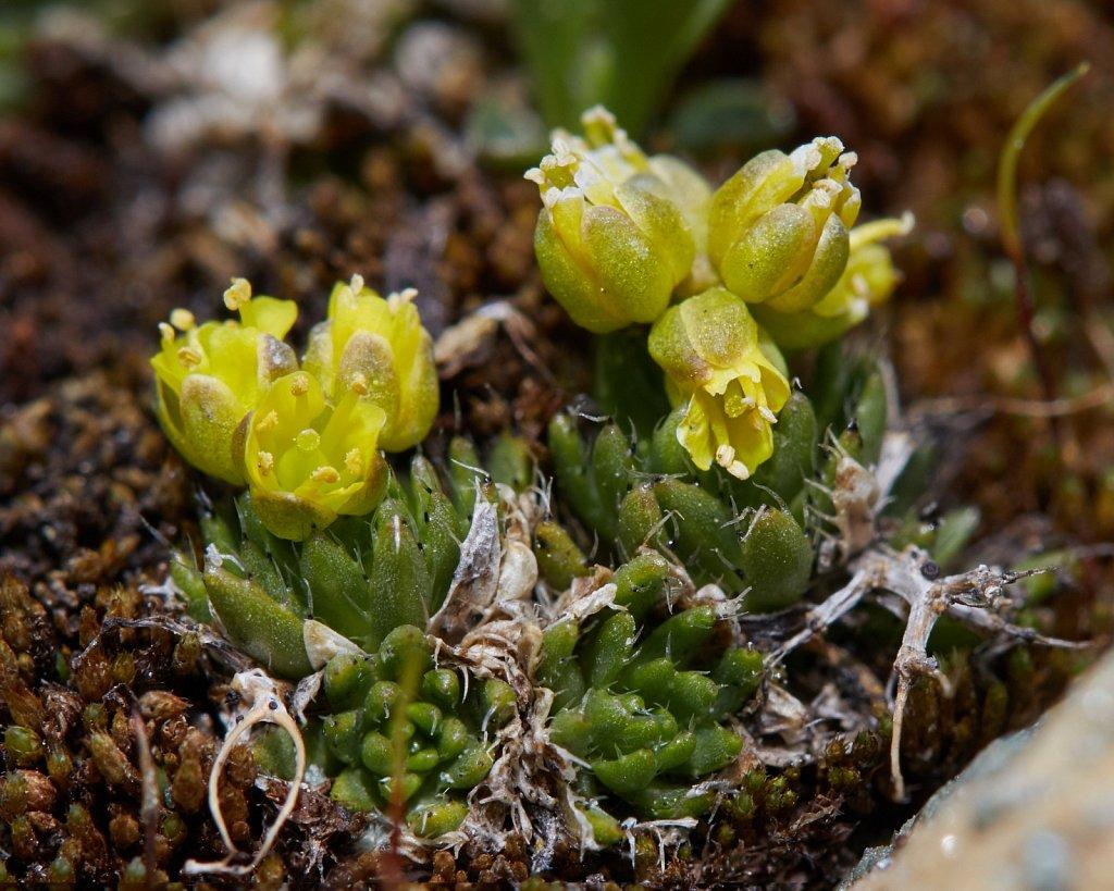 Draba hoppeana (Hoppe's Whitlowgrass)