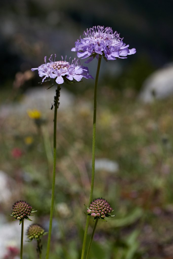 Scabiosa columbaria (Small Scabious)