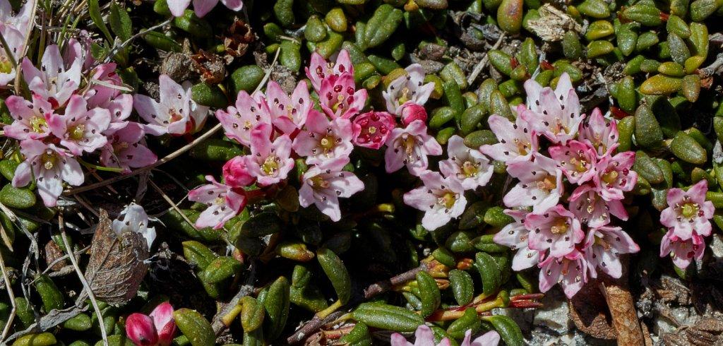 Loiseleuria procumbens (Trailing Azalea)