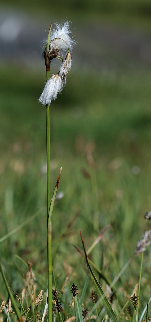 Eriophorum angustifolium (Common Cottongrass)