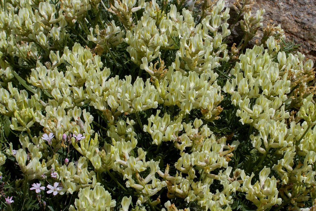 Oxytropis campestris (Yellow Oxytropis)