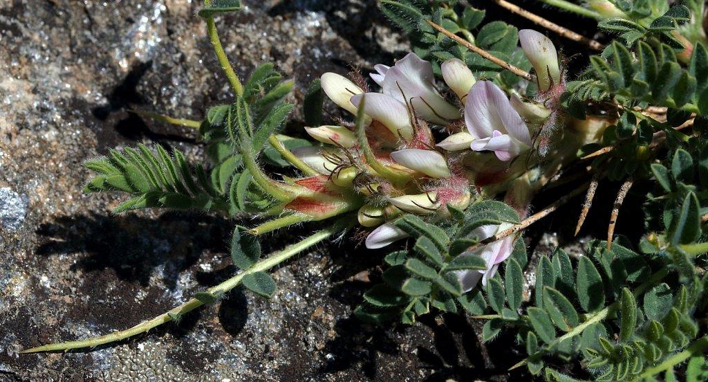 Astragalus sempervirens (Spiny Milk-vetch)