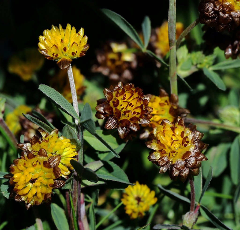 Trifolium badium (Brown Clover)