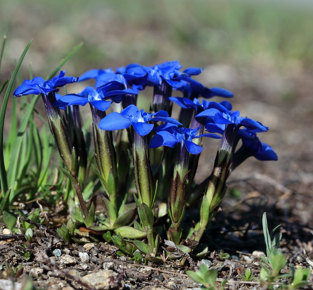 Gentiana brachyphylla (Short-leaved Gentian)