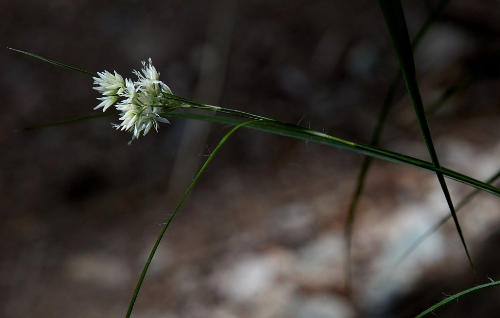Luzula nivea (Snow Wood-rush)