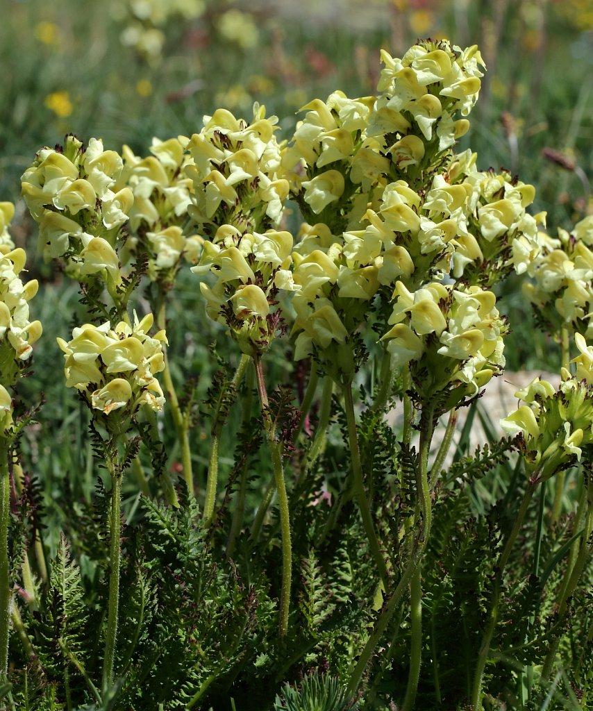 Pedicularis-tuberosa-8057ERAW1.JPG