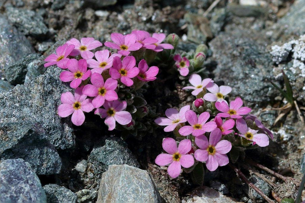 Androsace alpina (Alpine Rock-jasmine)
