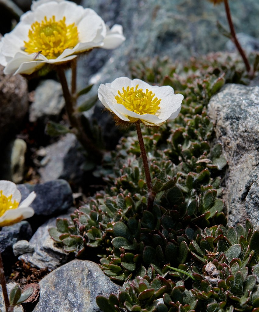 Ranunculus glacialis (Glacial Crowfoot)