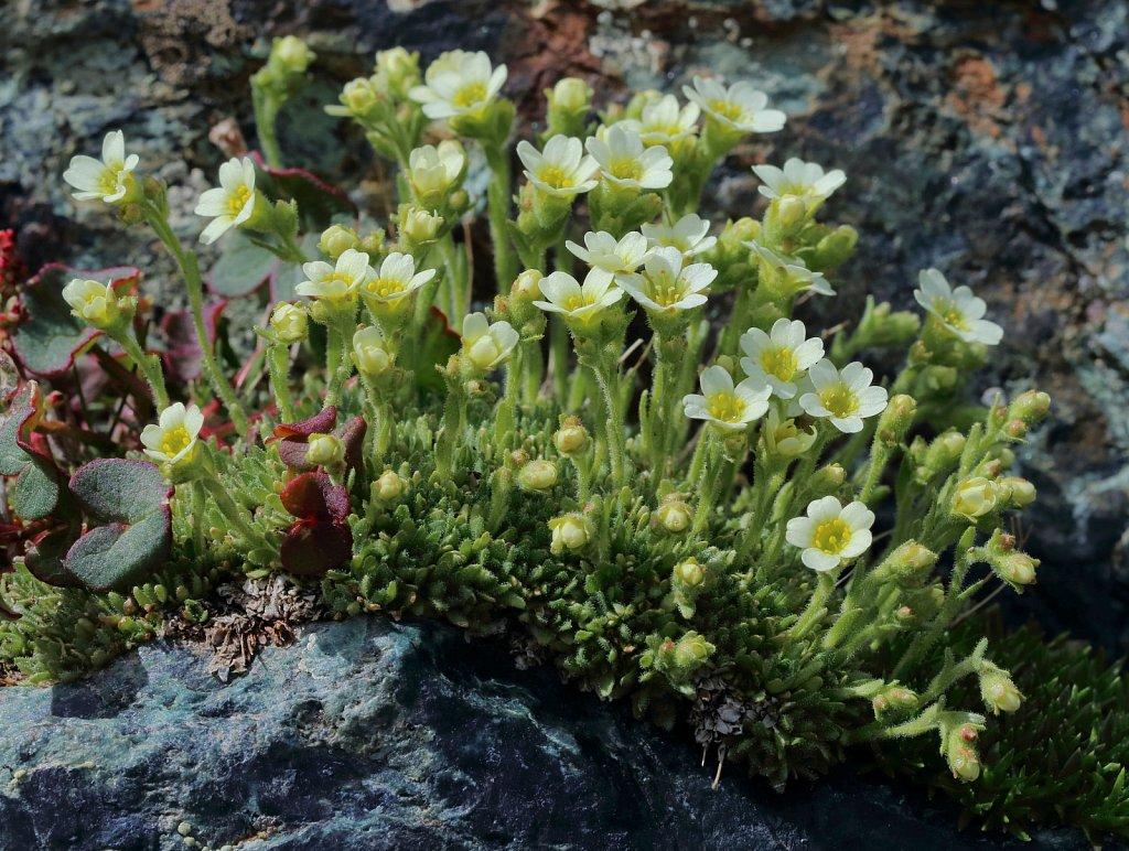 Saxifraga muscoides (Flat-leaved Saxifrage)
