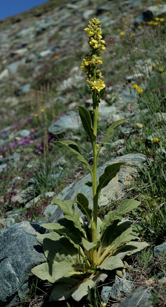 Verbascum thapsus ssp montanum (Great Mullein)